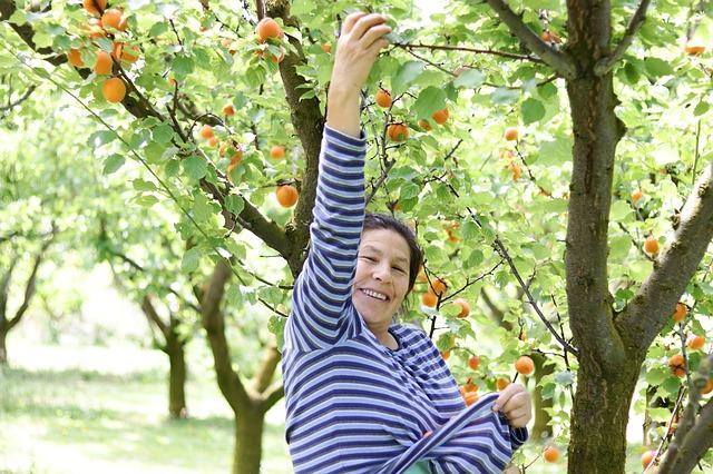 Žena česající meruňky