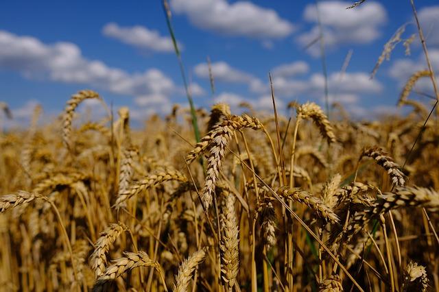 Pšeničné klíčky si můžete snadno vypěstovat sami
